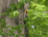 redbellied_woodpecker