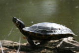 painted_turtles
