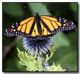 A Monarch Butterfly In The Garden