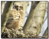 Great Horned Owl (Bubo virginianus) Fledgling