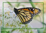 A Monarch On A Butterfly Bush