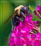 Bumble Bee Queen