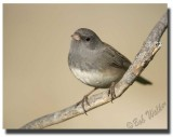Adult Male Dark-eyed  Junco (Junco hyemalis)
