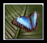 Blue Morpho morpho peleides