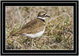 Killdeer Just A Different View
