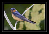The Parent Barn Swallow (Hirundo rustica)