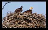 Eaglet And Parent Keep Vigilant