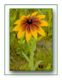 Gloriosa Daisy (Rudbeckia gloriosa)
