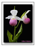 Showy Lady's Slippers Two