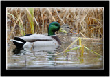 The Mallard Duck Gallery