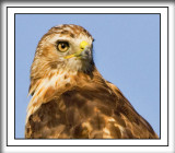 The Red-tailed Hawk Gallery