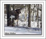The Mature Bald Eagle About Land