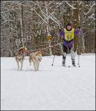 Skijoring With Siberians