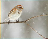 American Tree Sparrow (Spizella arborea) In A Winter Setting