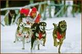 The Exciting Sport Of Sled Dog Racing As Seen Here In The Six Dog Class