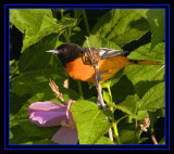 The Baltimore Oriole (Icterus galbula) Gallery