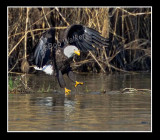 The American Bald Eagle About To Capture  It's Meal, Maybe