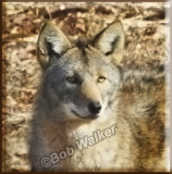 Eastern Coyote Gallery