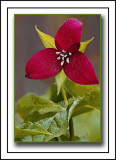 Purple Trillium (Trillium erectum) Standing