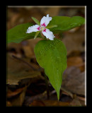 Painted Trillium Found On The Forest Floor