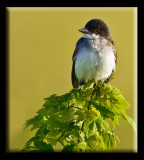 Eastern Phoebe Enjoying The Warming Sun