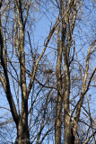 Nest in Maple Trees & Vine Thicket