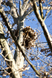 Closer View of the Nest in Oak Tree