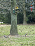 One Gray Squirrel & Two Fox Squirrels