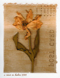 Pressed Tulip (transferred)