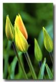 Tulips 2008