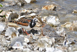 Ruddy Turnstone and Red Knot
