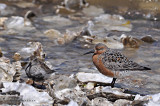 Red Knot and Dunlin