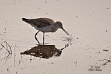 Greater Yellowlegs with injured foot