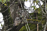 Great Horned Owl babes