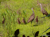 Limpkins-with-chicks2.jpg