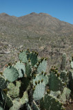 Prickly Pear and Wasson