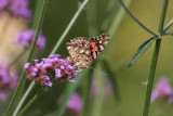 Paintedlady in the flowers