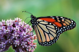 Monarch & flowers