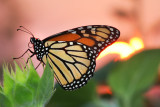 Monarch and sunset