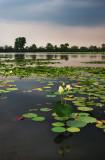 Lake of lily