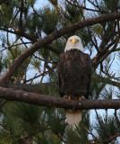 12-20-09 eagle 1660.jpg