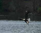 12-26-09 eagle fish 2751.jpg