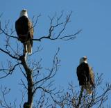 12-27-09 eagle pair 3159.jpg