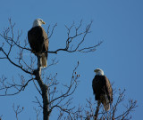 12-27-09 eagle pair lt 3154.jpg