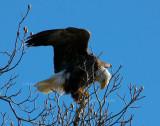 12-27-09 eagle lt 3180.jpg