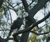 1-15-10 4377 eagle pair.jpg