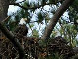 1-24-10 eagle pair 5037.jpg