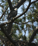 2-7-10-eagle-pair-male-in-nest-6900.jpg