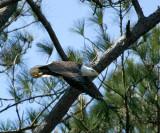 2-7-10-male-eagle-7040.jpg