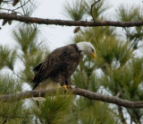 2-13-10-eagle-male-7281.jpg